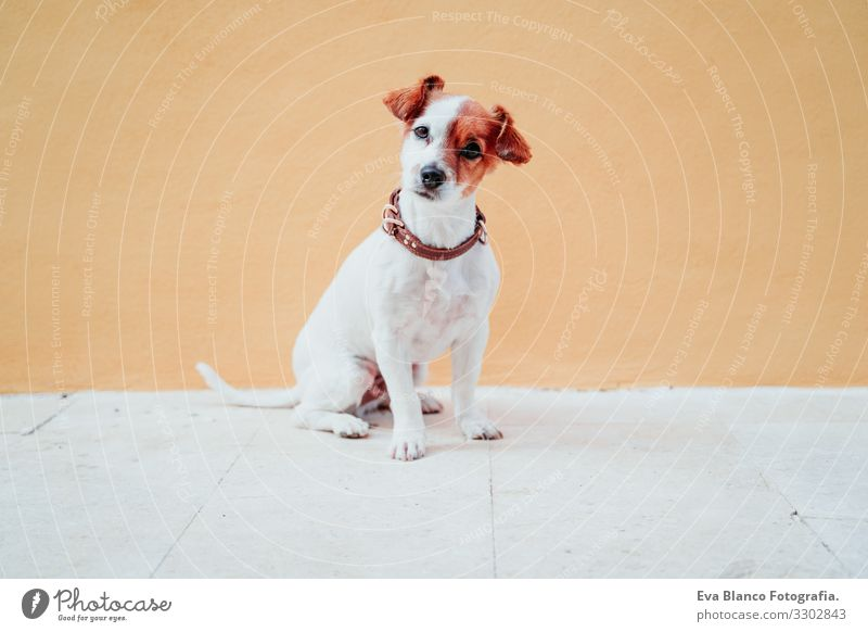 cute jack russel dog sitting over yellow background Dog Jack Russell terrier Sit Exterior shot City Yellow Background picture intelligent Deserted Cute Small