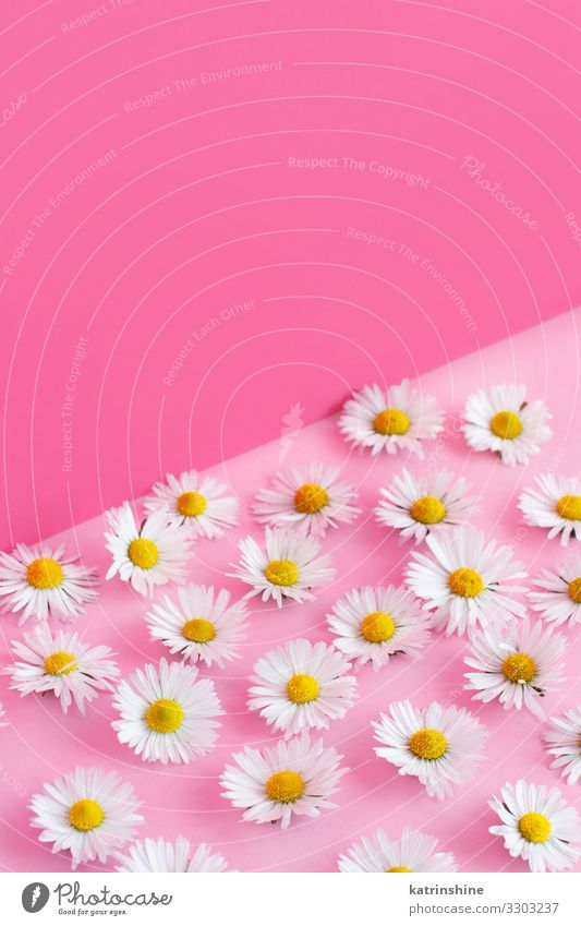White daisies on a pink background Woman Flower Adults Love Copy Space Pink Design Decoration Creativity Wedding Mother Blossom leave Conceptual design Floral