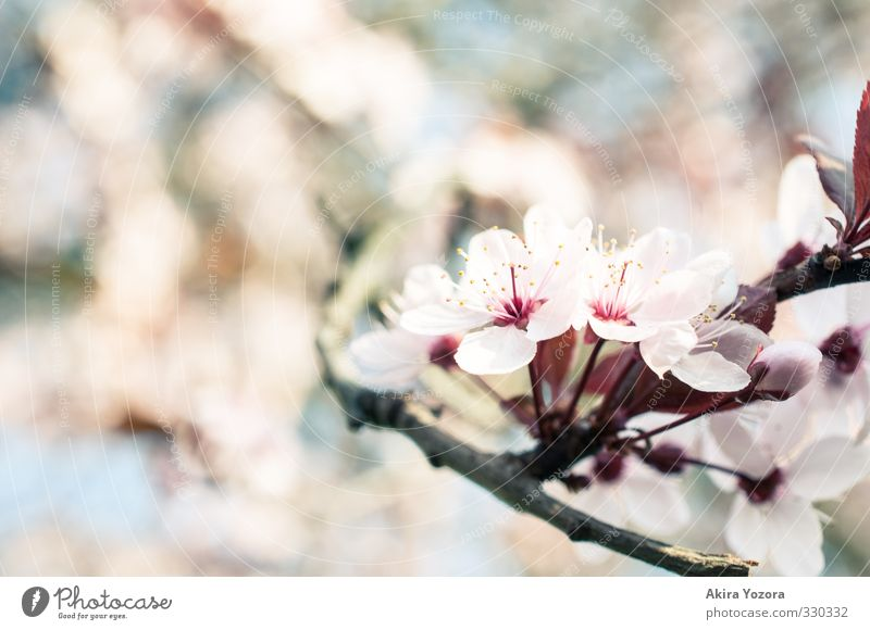 S.P.R.I.N.G. Nature Plant Spring Tree Blossom Blossoming Growth Blue Brown Green Pink Red Spring fever Anticipation Romance Beginning Environment Cherry blossom