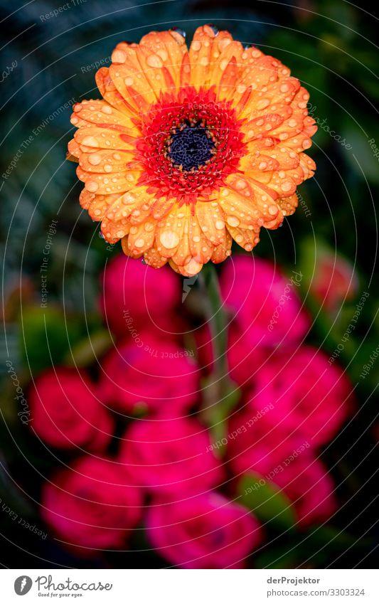 Plant Beautiful Flower Winter Environment Love Blossom Sadness Emotions Berlin Death Rain Esthetic Beginning Grief Rose