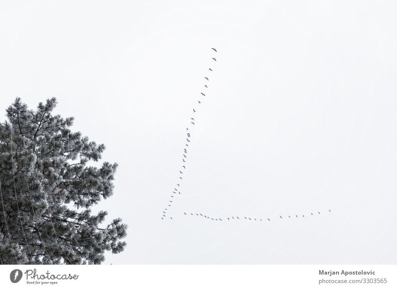 Flock of storks flying above trees in winter time Sky Nature Plant Animal Forest Winter Environment Freedom Bird Flying Moody Wild Air Group of animals Team