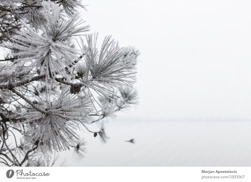 Close-up of a frosted pine tree in winter time Environment Nature Plant Water Cloudless sky Winter Weather Fog Ice Frost Tree Coast River bank Lake Cool (slang)