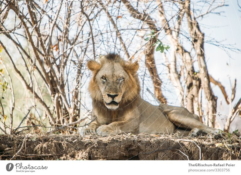 Male lion in the wild Safari Animal Africa Colour photo Exterior shot Vacation & Travel Animal portrait Wild animal Tansania trees Looking into the camera