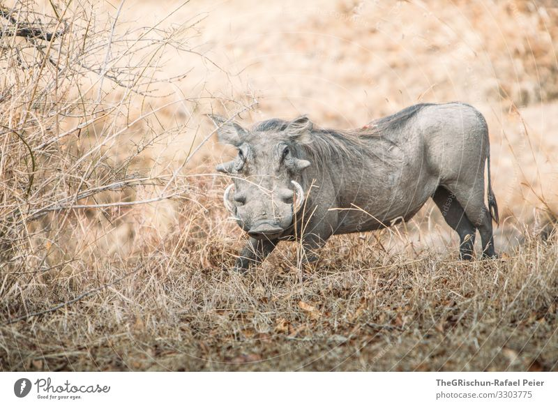 Warthog in the wild Safari Animal Africa Colour photo Exterior shot Vacation & Travel Animal portrait Wild animal Tansania Looking into the camera Discover 1