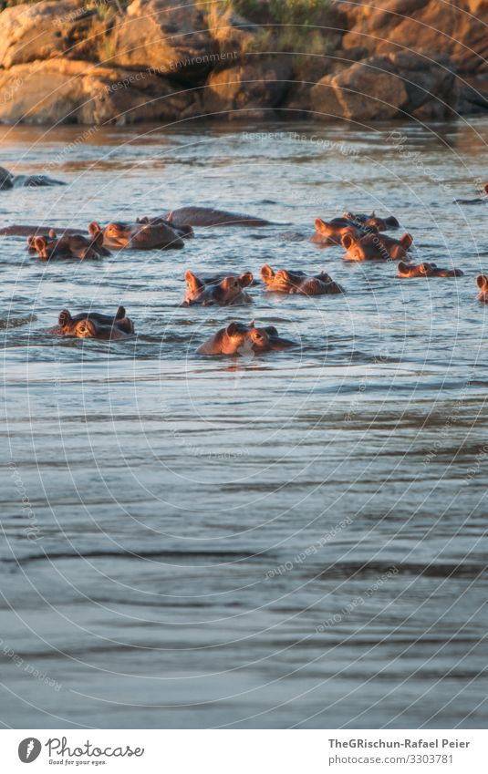 Hippos in the water at sunset Safari Animal Africa Colour photo Exterior shot Vacation & Travel Wild animal Tansania Discover 1 Adventure Deserted Nature