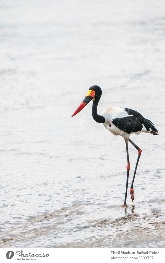 Saddleback stork in the wild Bird Animal Colour photo Wild animal Nature Deserted Beak Day Safari variegated feathers Feather animal world Exterior shot