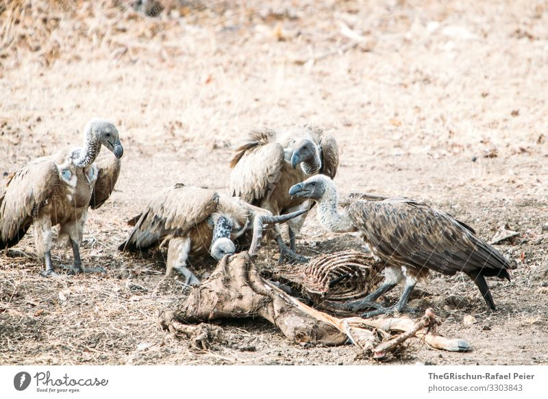 Four vultures eating a dead animal Vulture Bird Animal Feather Exterior shot Scavenger animal world To feed Beak Bone Prey Gray Dry Dusty predator raptor