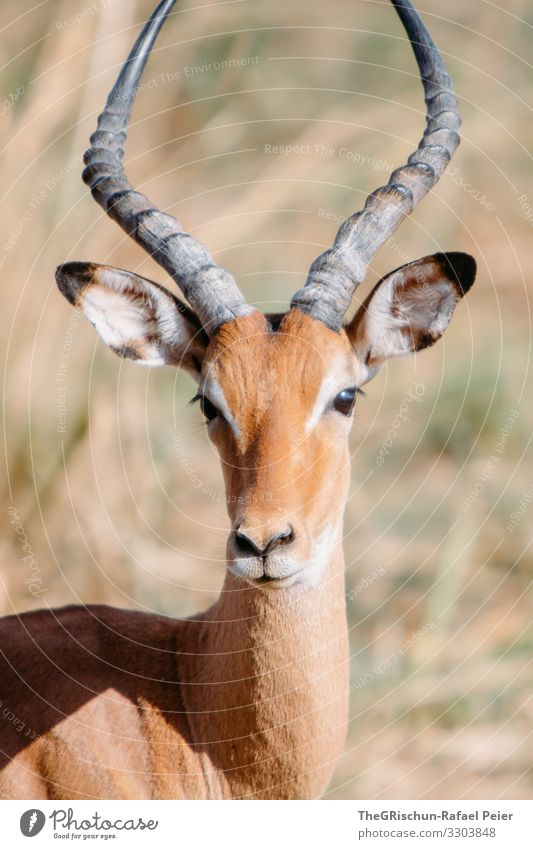 Portrait of a gazelle Safari Animal Africa Colour photo Exterior shot Vacation & Travel Animal portrait Tansania Looking into the camera Discover 1 Deserted