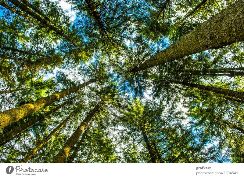 View Up To The Tree Crowns Of A Conifer Forest asset austria background biodiversity biomass carbondioxide climate climate change conservation crown ecology