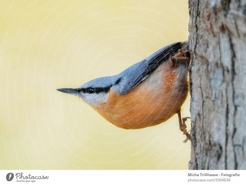 Nuthatch hanging from the tree trunk Nature Animal Sunlight Beautiful weather Tree Tree trunk Wild animal Bird Animal face Wing Claw Eurasian nuthatch Head Beak