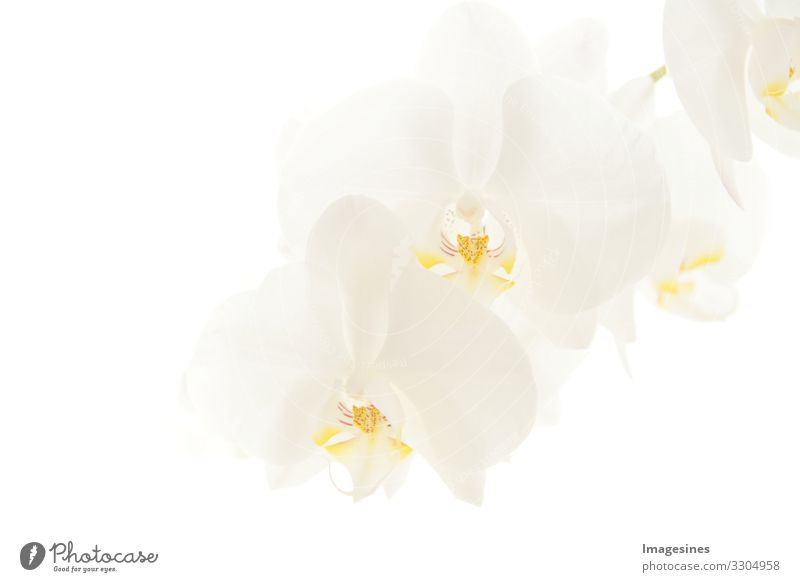 "orchids Plant Orchid Blossom Orchid blossom phalaenopsis Exotic Beautiful Grief ""Branch White moon orchid Close-up Bright background blurred background"