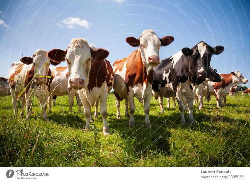 Herd of cows in the pasture Meat Nature Animal Cow To feed Cute agriculture Beast Beef bovine Cattle country Dairy Farm Large-scale holdings field head heifer