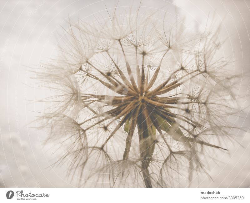 puppete Environment Nature Plant Flower Kitsch Dandelion Colour photo Subdued colour Exterior shot Close-up Detail Abstract Pattern Structures and shapes
