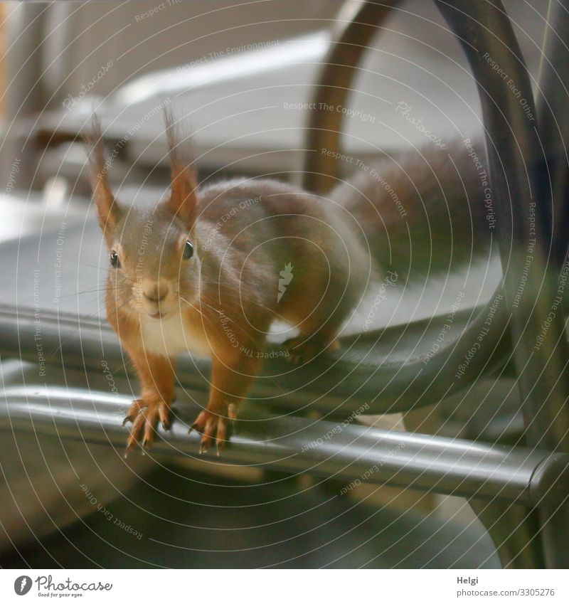 Squirrel looks curiously through the window Environment Nature Animal Winter Terrace Wild animal 1 Chair Looking Sit Exceptional Uniqueness Small Curiosity