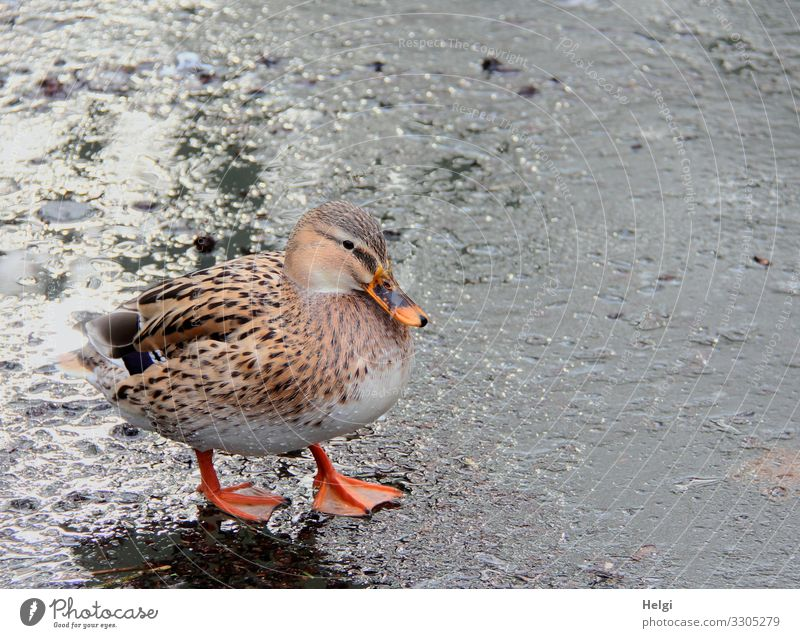 Duck stands on an ice rink Environment Nature Animal Water Winter Ice Frost Pond Wild animal Bird 1 Freeze Looking Stand Authentic Cold Natural Brown Gray