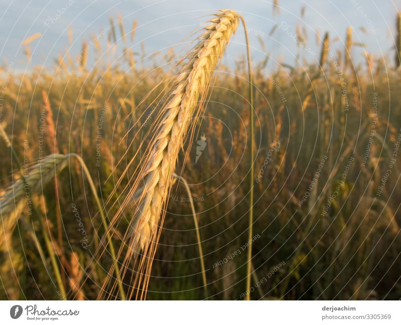 harvest time Nutrition Relaxation Hiking Environment Nature Summer Beautiful weather Grain field Field Bavaria Germany Deserted Observe Discover To enjoy