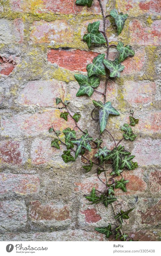 Ivy creeper on a brick wall. Nature Old Plant Landscape House (Residential Structure) Relaxation Healthy Background picture Architecture Lifestyle