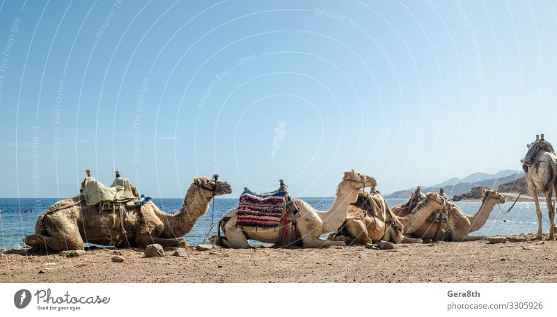 caravan lying camels in desert of Egypt Dahab Blue Hole Exotic Vacation & Travel Tourism Summer Beach Ocean Nature Landscape Sand Horizon Fog Warmth Coast