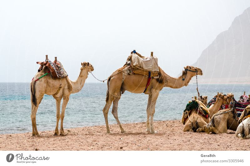 caravan lying camels in desert of Egypt Dahab South Sinai Exotic Vacation & Travel Tourism Summer Beach Ocean Mountain Nature Landscape Sand Horizon Fog Warmth