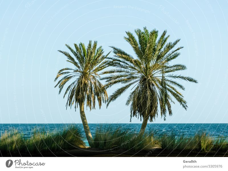 green palm trees on the Red Sea in Egypt Dahab Relaxation Vacation & Travel Tourism Summer Beach Ocean Waves Nature Landscape Plant Sand Sky Horizon Tree Grass