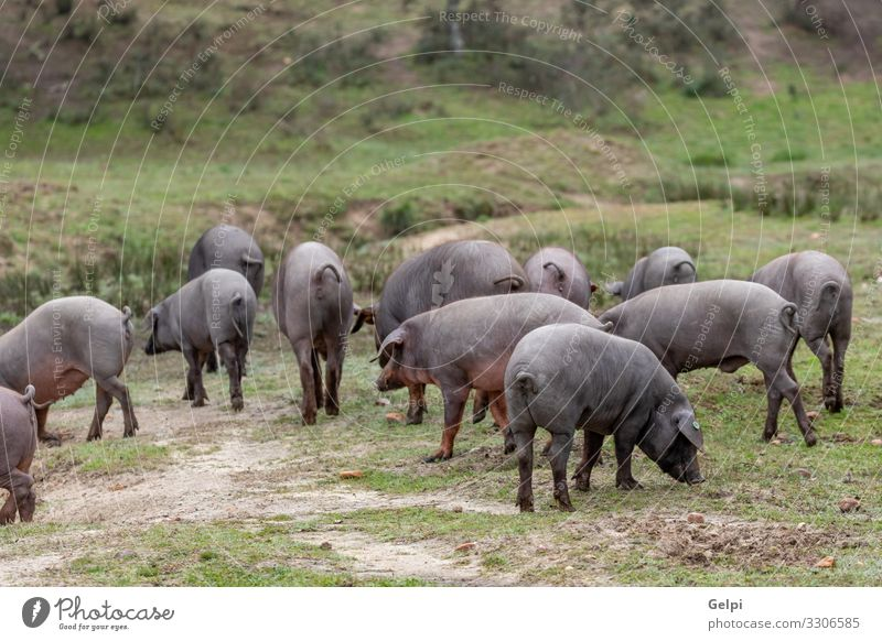 Iberian pigs grazing Nature Landscape Tree Animal Black Eating Meadow Gastronomy Farm Spain Pasture Mammal Agriculture Meat To feed Rural