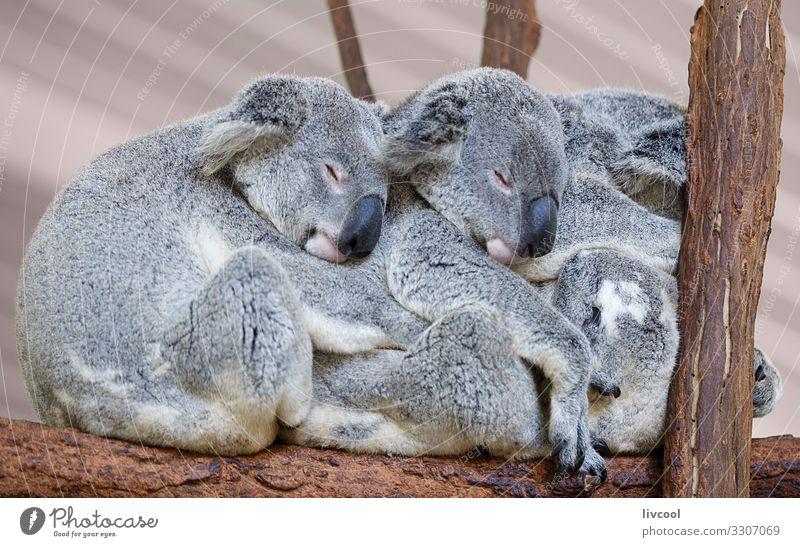 Koalas sleeping , Brisbane II - Australia Vacation & Travel Trip Adventure Family & Relations Group Nature Animal Tree Forest Wild animal 3 Sleep Authentic