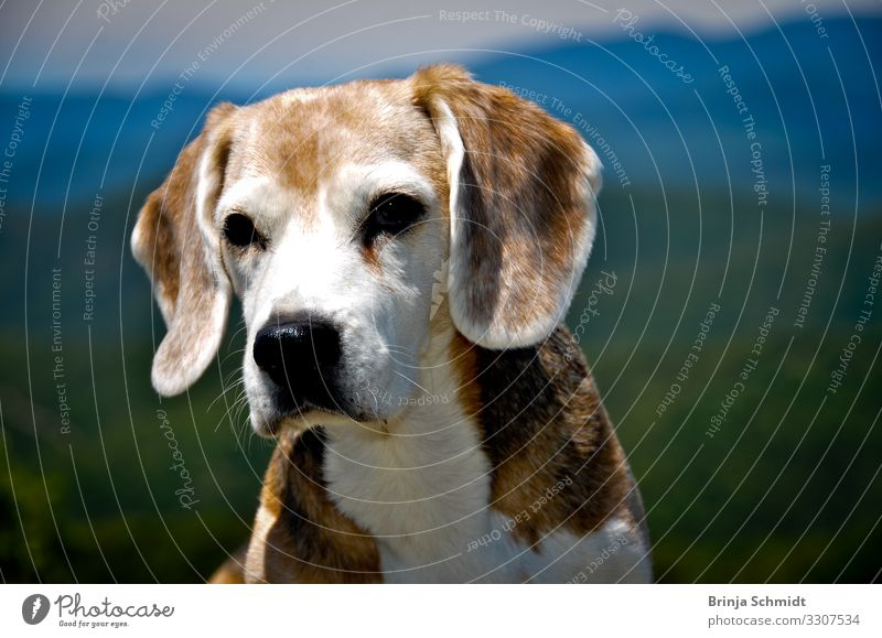Portrait of an old beagle (dog). Beautiful weather Mountain Dog 1 Animal Old Observe Think Hunting Looking Dream Friendliness Natural Soft Brown White