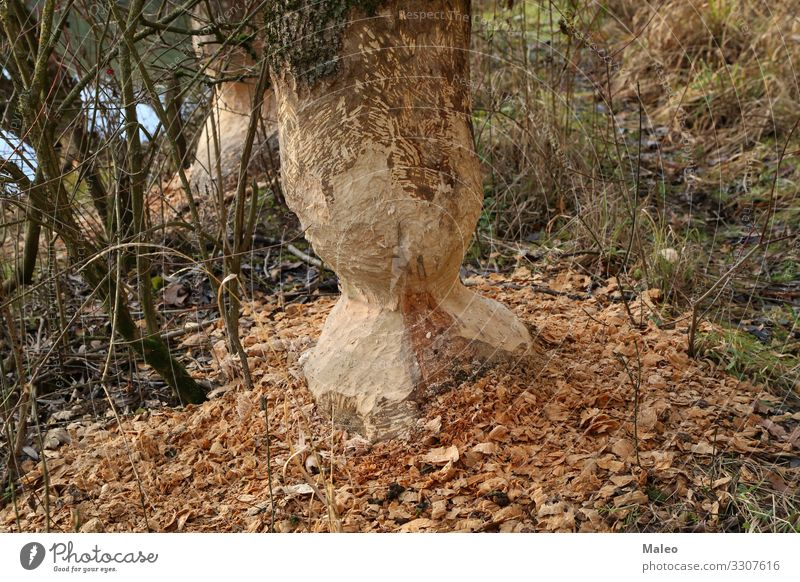 Beaver ruined tree trunks Rodent Coast Lakeside River bank Tree Animal Nature Teeth Water Wood Large Brown Wild animal Forest Tree trunk Gnaw