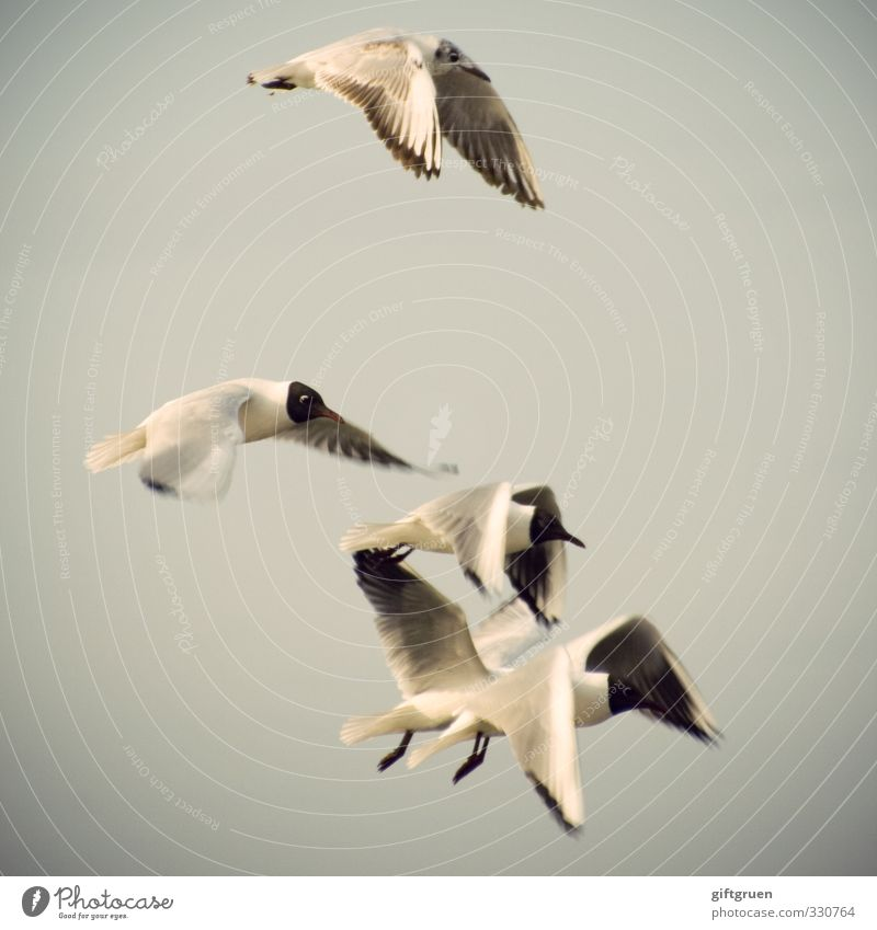 synchronous aviator Elements Air Coast Animal Bird Wing 4 Group of animals Flock Flying Elegant Ease Seagull Black-headed gull  Nosedive Synchronous Glide