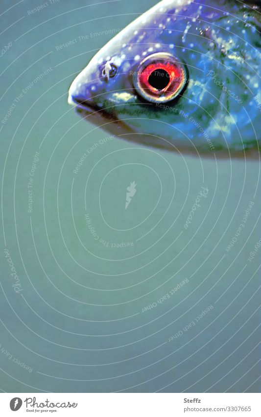 speech Environment Nature Animal Water Wild animal Fish Fish head Fish eyes Fish mouth Observe Looking Swimming & Bathing Exceptional Near Beautiful Blue Red