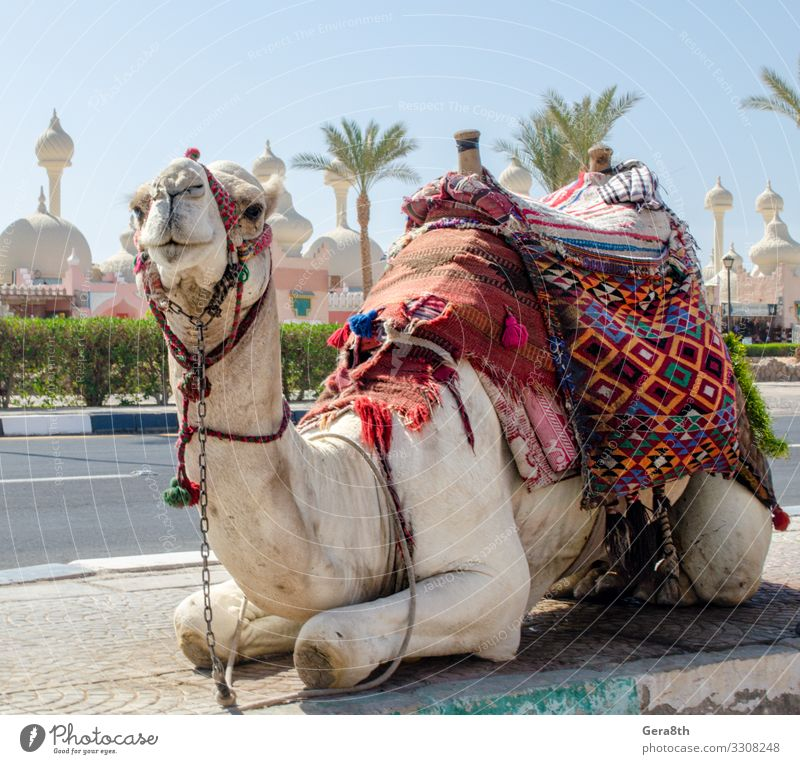 riding camel in a bright blanket on the sunny street in Egypt Exotic Vacation & Travel Tourism Entertainment Animal Oasis Town Transport Street Cloth Bright
