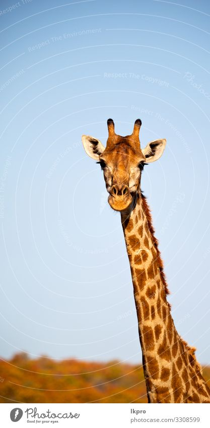 in south africa wildlife nature reserve and giraffe Skin Face Safari Mouth Zoo Nature Animal Sky Park Stand Tall Long Funny Cute Wild Gray Black White Giraffe