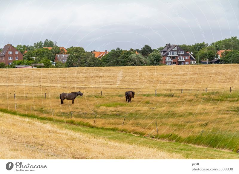 Spiekeroog in East Frisia Summer Island Agriculture Forestry Landscape Plant Meadow Coast Village Horse Authentic East Frisland Friesland district Germany