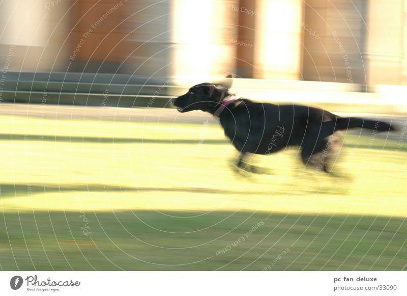 running dog Labrador Dog Blur Movement pulling along Running