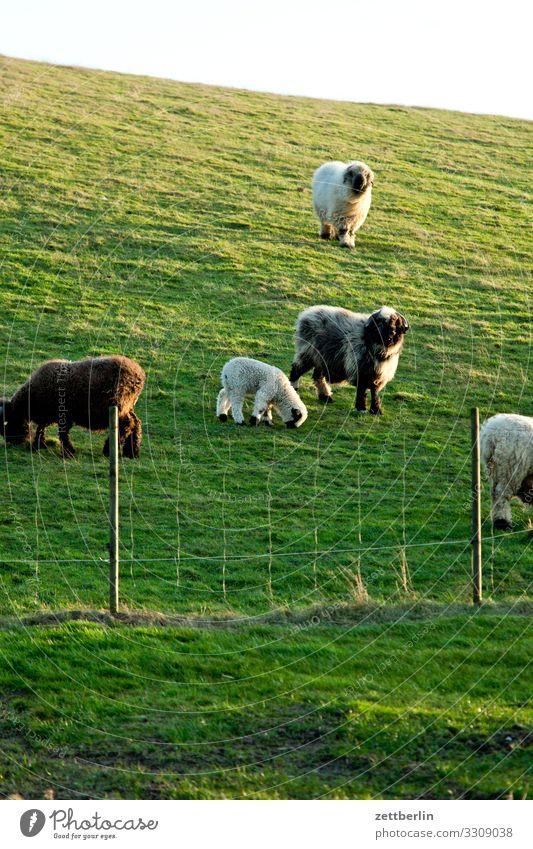 Vacation & Travel Landscape Animal Meadow Coast Copy Space Island Agriculture Baltic Sea Village Pasture Organic produce Pet Rügen Sheep Ecological