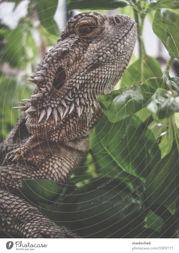 Scaly cattle badagam lizard Dino Dinosaur Reptiles Animal Nature fauna Dragon Saurians Flake Animal portrait Exotic Looking Claw Close-up Observe Wild animal