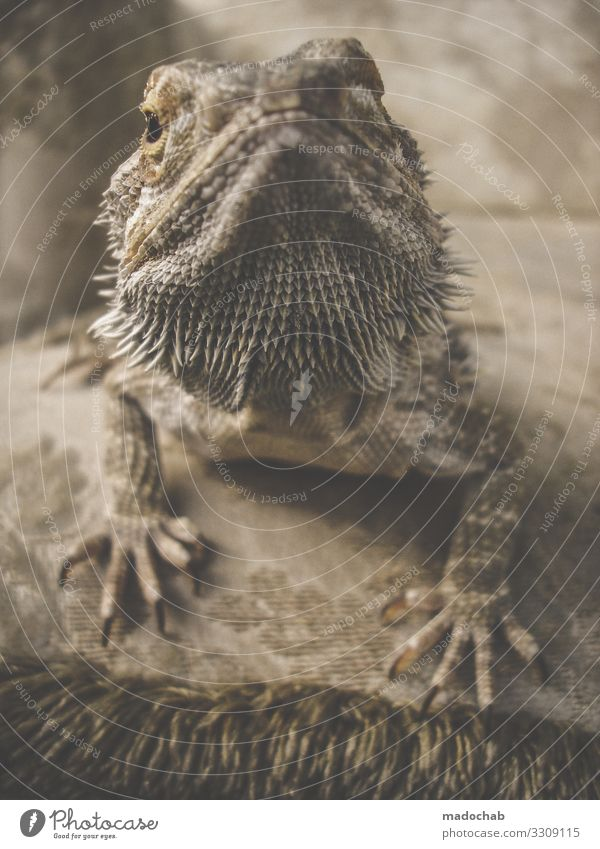 bearded dragons Animal Scales Claw Barbed agame Lizards Saurians Reptiles Dinosaur Observe Crouch Love of animals Beautiful Serene Patient Calm Self Control