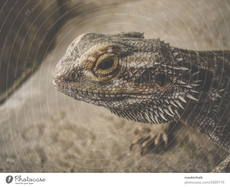 bearded dragons Animal Scales Claw Dinosaur Reptiles Barbed agame Saurians Lizards Observe Love of animals Attentive Watchfulness Caution Serene Patient Calm