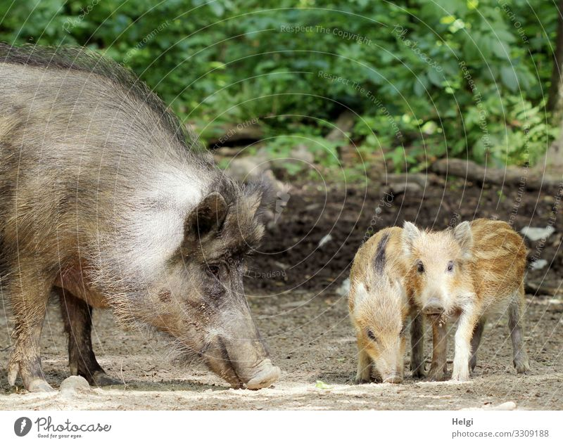 female wild boar and young boar in the forest Environment Nature Plant Animal Spring Beautiful weather Bushes Forest Woodground Wild animal Wild boar Young boar