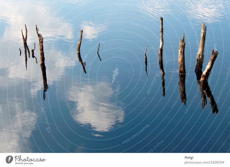 Moor lake with dead branches and reflection of sky and clouds Environment Nature Water Sky Clouds Spring Beautiful weather Tree stump Bog Marsh Old Stand