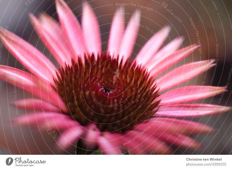 red sun hat Nature Plant Flower Blossom Purple cone flower Flowering plants Esthetic Exceptional Fragrance Elegant Fantastic Friendliness Glittering Beautiful