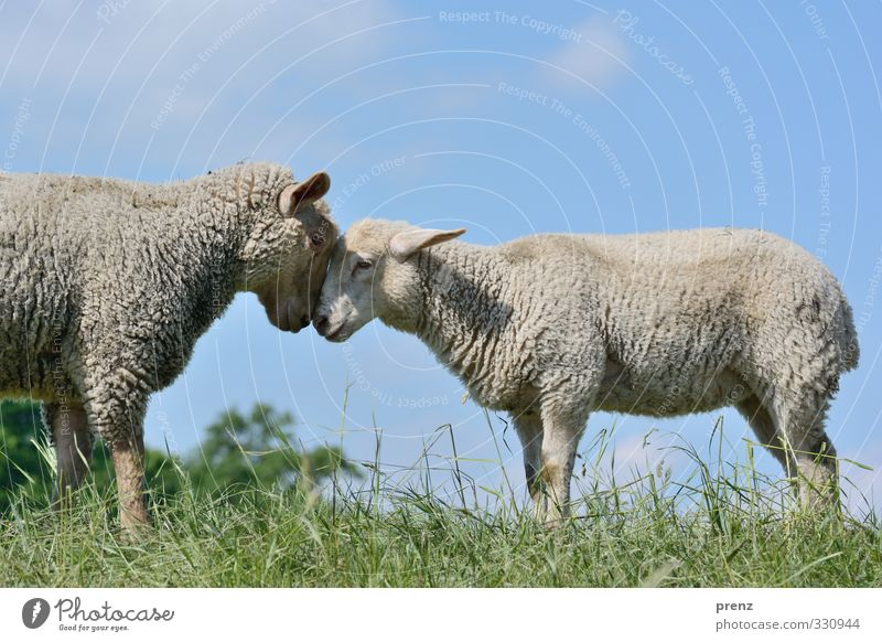 head to head Environment Nature Animal Farm animal 2 Pair of animals Blue Gray Green Sheep Grass Colour photo Exterior shot Deserted Copy Space top Day Light