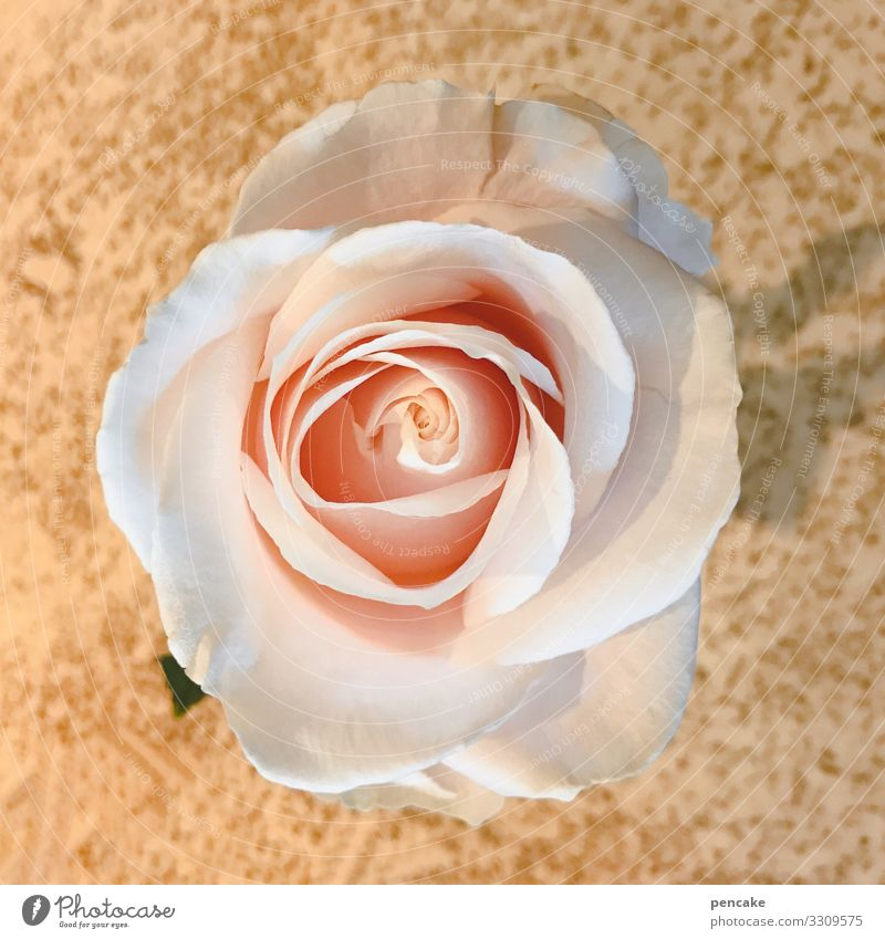 it smells like roses here Rose Flower Blossom Pink Colour photo Close-up Shallow depth of field Plant Fragrance Natural Blossoming Rose blossom Summer Romance