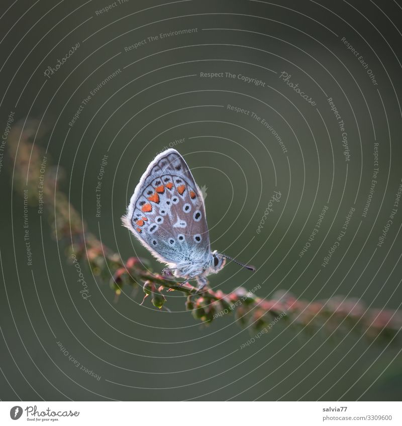 deserved rest Environment Nature Animal Summer Plant Grass Seed Stalk Butterfly Wing Insect Polyommatinae 1 Small Above Ease Break Calm Colour photo
