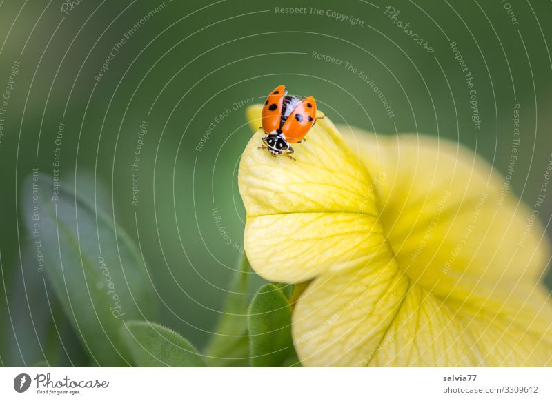Ladybird sitting on yellow flower with open wing Nature Flower Blossom Yellow Summer Plant Macro (Extreme close-up) Colour photo Deserted Shallow depth of field