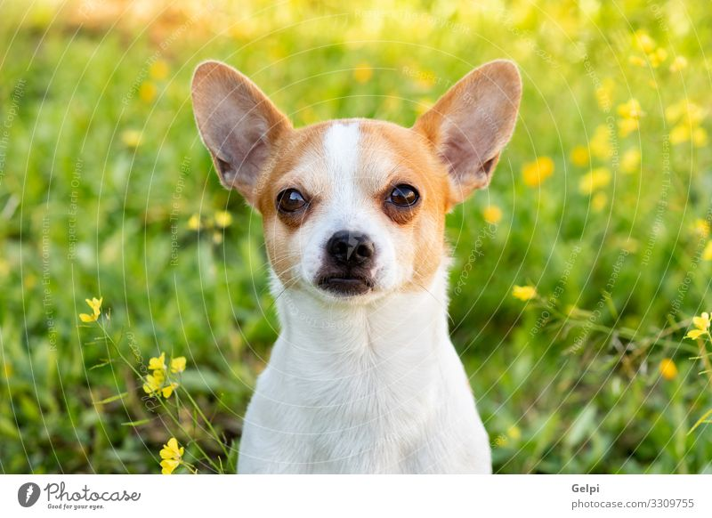 Funny white Chihuahua with big ears Joy Face Camera Friendship Animal Flower Blossom Pet Dog Sit Small Cute Brown White Chihuahua Desert Breed Mammal Domestic