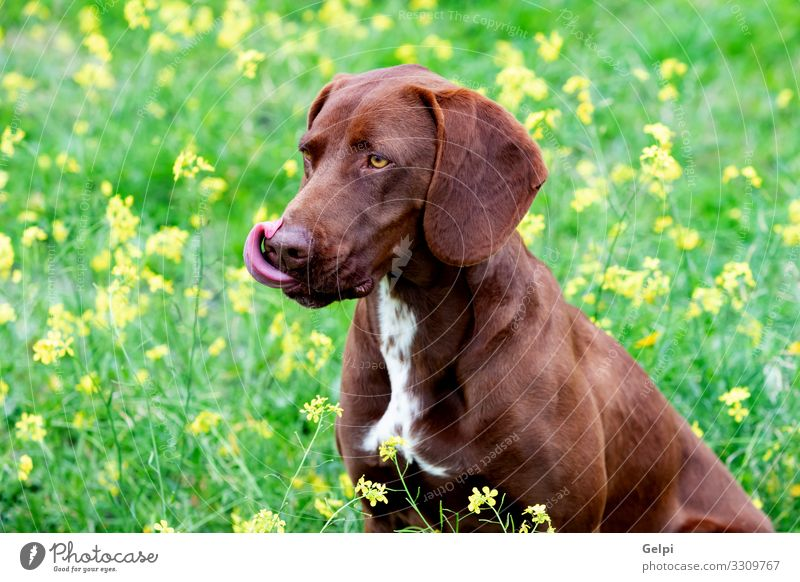 Beautiful Brown Braco German Shorthair Animal Flower Meadow Fur coat Pet Dog Large Small White Pure many Breed german braco isolated Purebred pup head Mammal