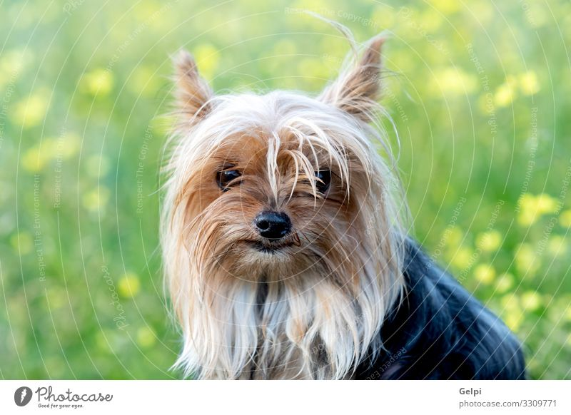 Funny small yorkshire dog Joy Happy Friendship Animal Flower Blossom Meadow Pet Dog Toys Love Friendliness Small Cute Brown White Loneliness Relationship yorkie