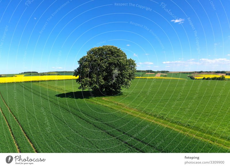 freestanding tree in front of a blue sky Beautiful Far-off places Summer Sun Agriculture Forestry Nature Landscape Plant Weather Tree Wood Blue Yellow Green