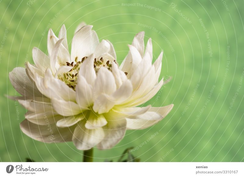 white anemone against a green background Calm Living or residing Decoration Spring Summer Plant Flower Blossom Anemone Blossoming Green White xenias